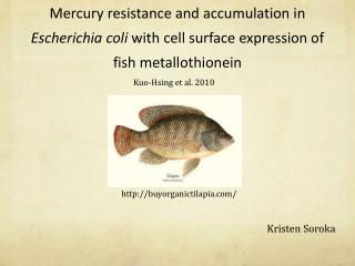 Mercury resistance and accumulation in  Escherichia coli  with cell surface expression of fish  metallothionein