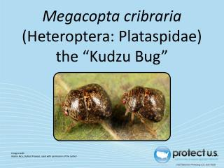 "Megacopta cribraria  (Heteroptera: Plataspidae) the ""Kudzu  Bug"""
