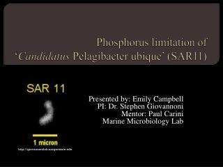 Phosphorus limitation of  ' Candidatus  Pelagibacter ubique' (SAR11)