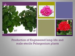 Production of Engineered long-life and male-sterile Pelargonium plants