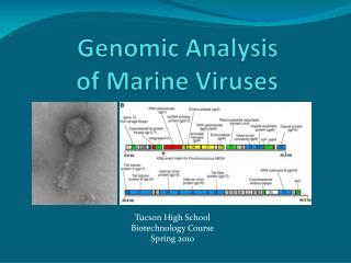 Genomic Analysis of Marine Viruses