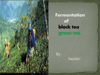 Fermentation            of               black tea green tea