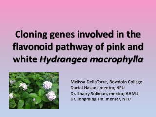 Cloning genes involved in the flavonoid pathway of pink and white  Hydrangea  macrophylla