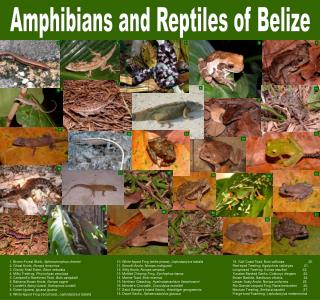 amphibians and reptiles of belize