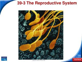 39-3 the reproductive system