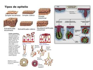 http://amebanature.wikispaces.com/file/view/450px-Illu_epithelium.es.png/290277005/450px-Illu_epithelium.es.png