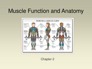 muscle function and anatomy