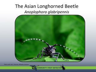 The Asian Longhorned Beetle Anoplophora glabripennis