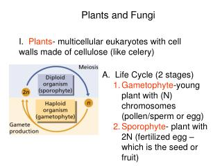 I.   Plants - multicellular eukaryotes with cell walls made of cellulose (like celery)