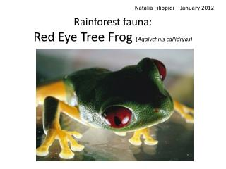 Rainforest fauna: Red Eye Tree Frog  ( Agalychnis callidryas)