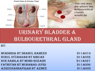 URINARY BLADDER & BULBOURETHRAL GLAND