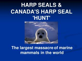 HARP SEALS &  CANADA'S HARP SEAL 'HUNT'