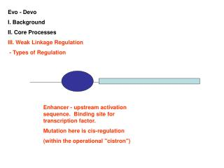 Evo - Devo I. Background II. Core Processes III. Weak Linkage Regulation  - Types of Regulation