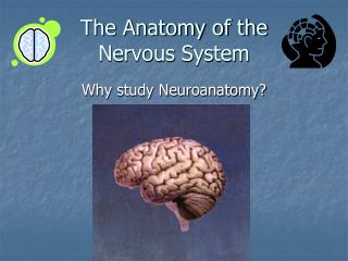 The Anatomy of the  Nervous System