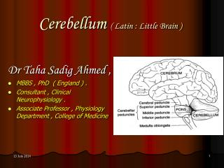 Cerebellum  ( Latin : Little Brain )