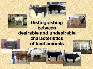 Distinguishing  between  desirable and undesirable characteristics  of beef animals