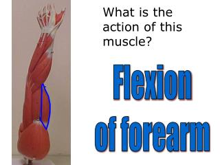 What is the  action of this muscle?