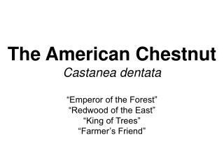 The American Chestnut Castanea dentata