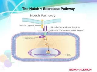 The Notch- -Secretase Pathway