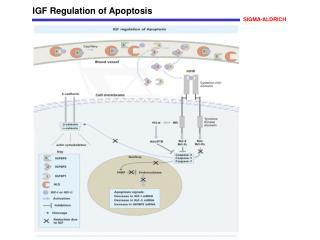 IGF Regulation of Apoptosis