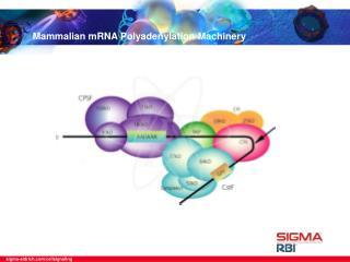 Mammalian mRNA Polyadenylation Machinery