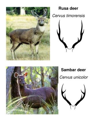 Rusa deer Cervus timorensis
