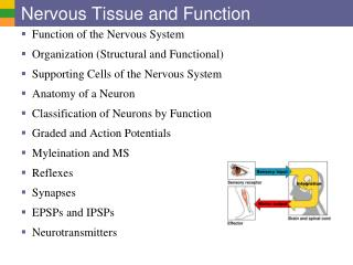 Nervous Tissue and Function