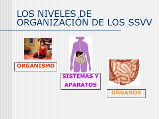 LOS NIVELES DE ORGANIZACIÓN DE LOS SSVV
