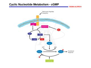 Cyclic Nucleotide Metabolism - cGMP