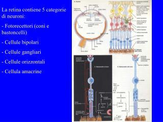 La retina contiene 5 categorie di neuroni:  Fotorecettori (coni e bastoncelli)  Cellule bipolari  Cellule gangliari  Ce