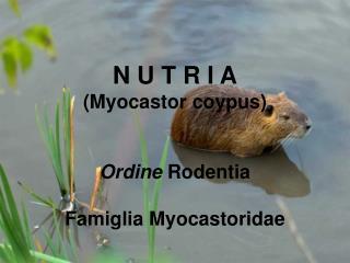 N U T R I A (Myocastor coypus) Ordine  Rodentia Famiglia Myocastoridae