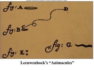 "Leeuwenhoek's ""Animacules"""
