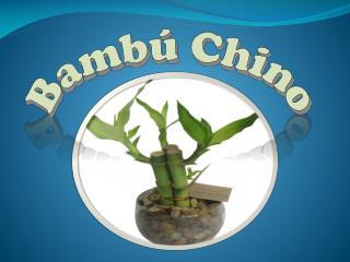 Bambú Chino