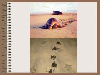 Bigu: Tortuga