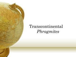 Transcontinental Phragmites