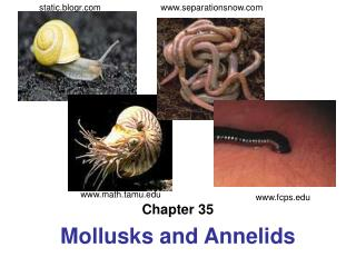 Chapter 35 Mollusks and Annelids