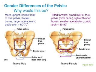 Gender Differences of the Pelvis:   Why would this be?