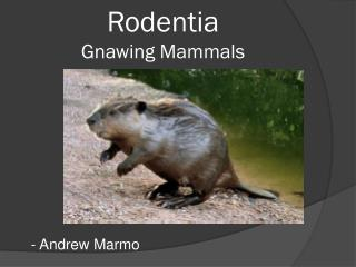Rodentia Gnawing Mammals