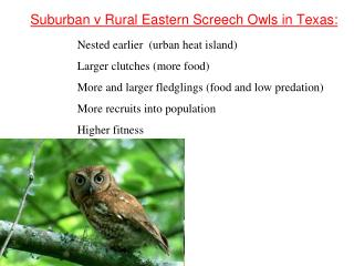 Suburban v Rural Eastern Screech Owls in Texas: