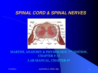 SPINAL CORD & SPINAL NERVES