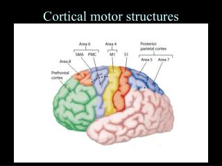 Cortical motor structures