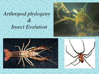 Arthropod phylogeny & Insect Evolution
