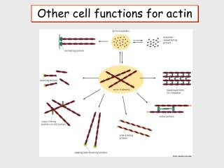 Other cell functions for actin