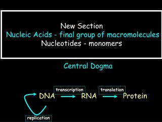 New Section Nucleic Acids - final group of macromolecules   Nucleotides - monomers