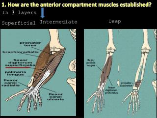 1. How are the anterior compartment muscles established?