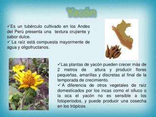 Es un tubérculo cultivado en los Andes del Perú presenta una  textura crujiente y sabor dulce.  La raíz está compuesta