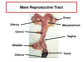 Mare Reproductive Tract