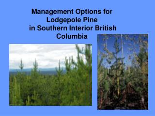 Management Options for Lodgepole Pine  in Southern Interior British Columbia