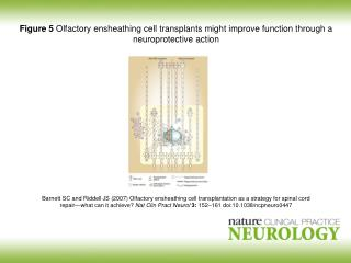 Barnett SC and Riddell JS (2007)  Olfactory ensheathing cell transplantation as a strategy for spinal cord