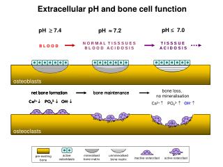 Extracellular pH and bone cell function